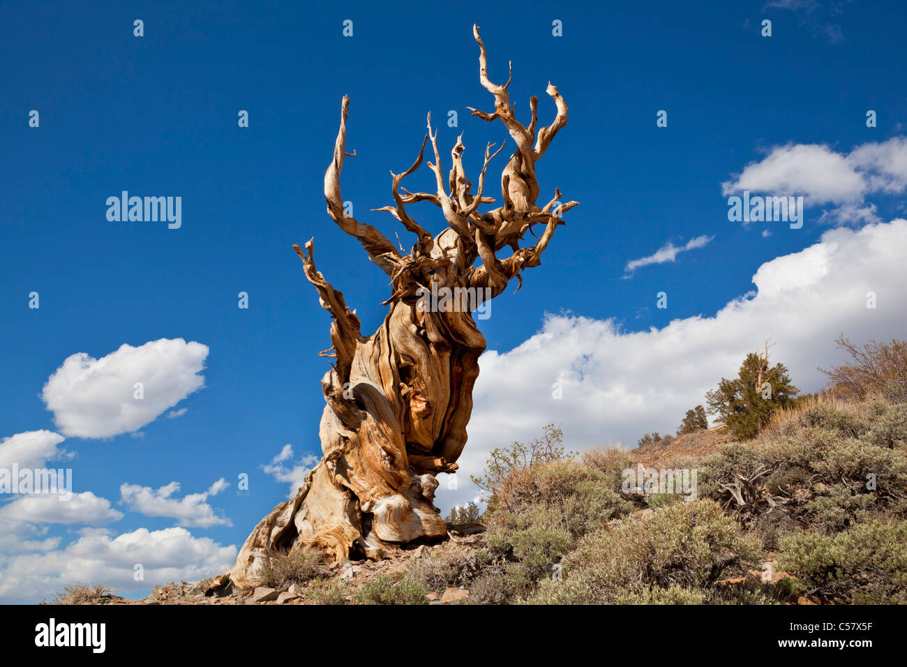 The Ancient bristlecone pine Forest Inyo national Forest California USA United States of America - Stock Image