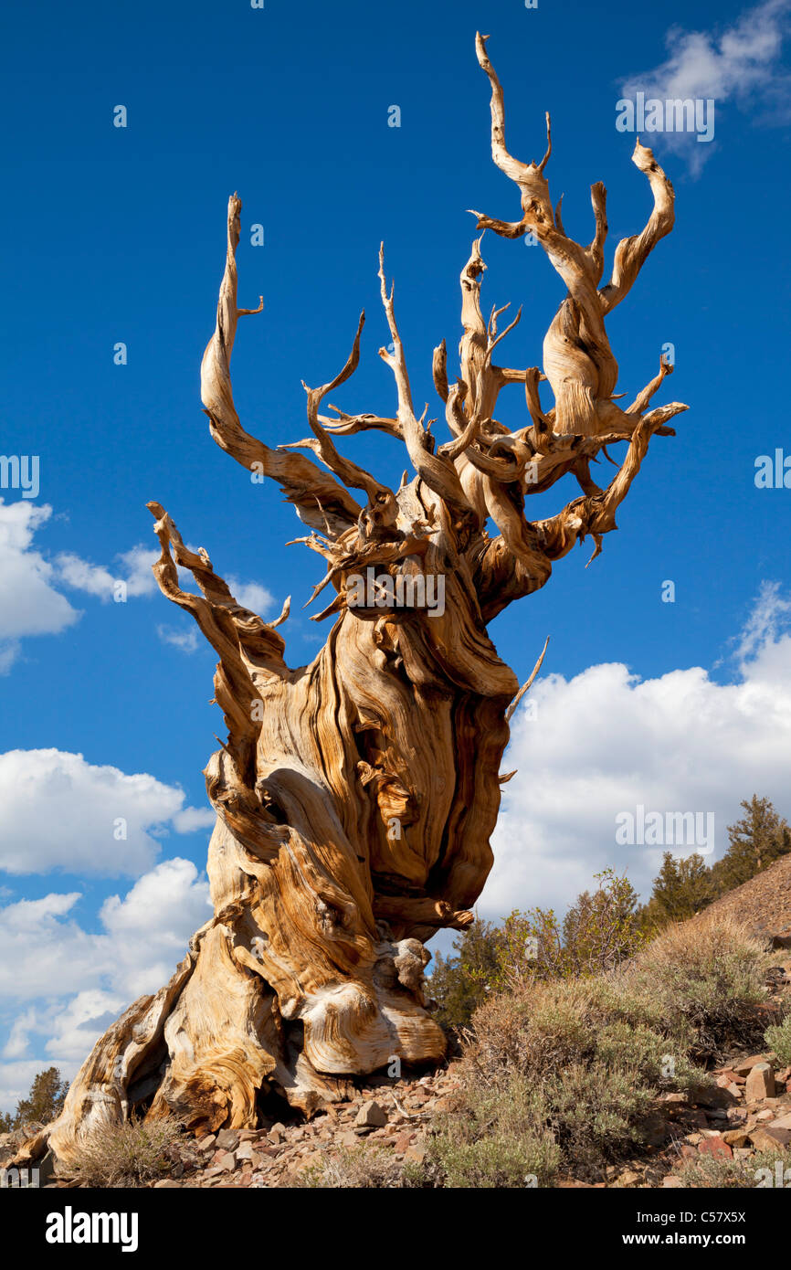 The Ancient bristlecone pine Forest Inyo national Forest Bishop California USA United States of America - Stock Image