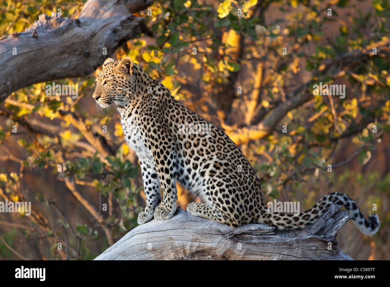 Leopard (Panthera pardus) rests on a fallen tree before heading on its evening hunt. Kwando Concession, Botswana - Stock Image