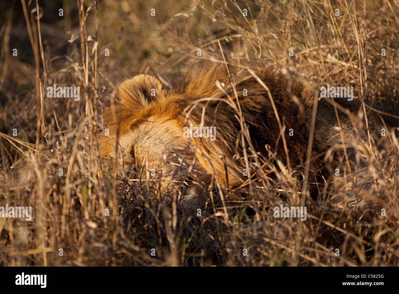A battle scarred male lion (Panthera leo) snoozes Okavango Delta, Botswana - Stock Image