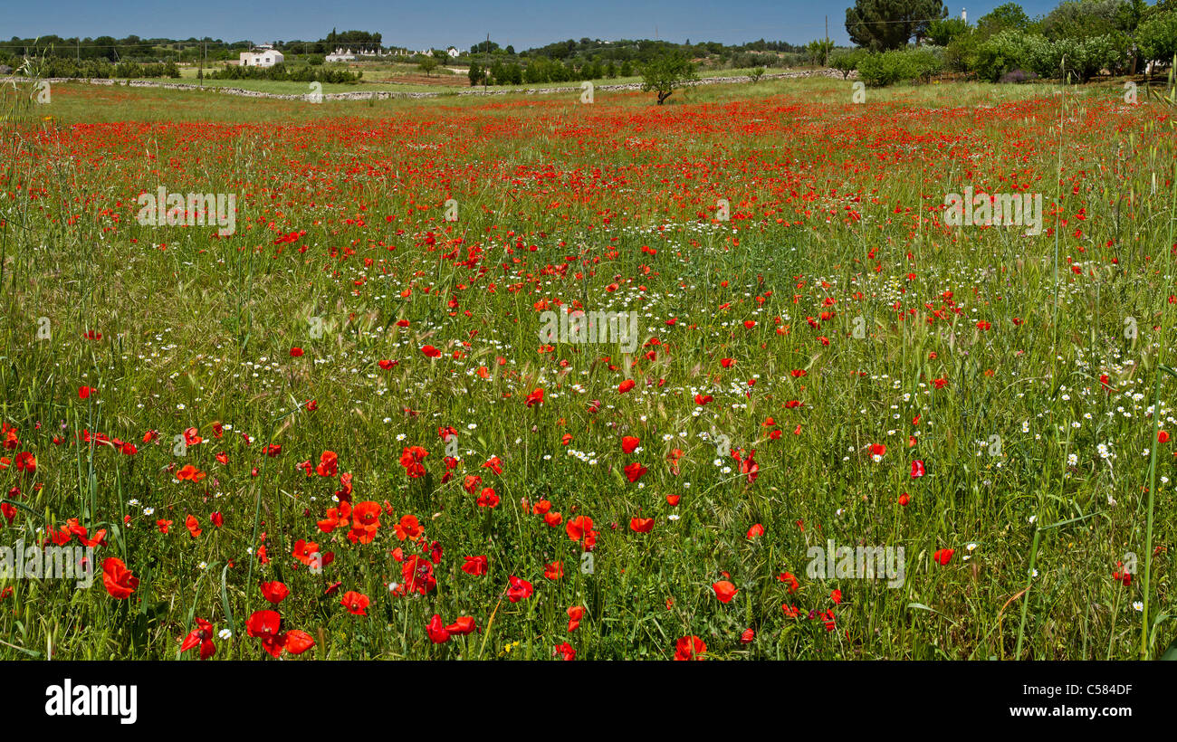 Italy, Europe, Poppies, Martina Franca, Puglia, landscape, field, meadow, flowers, spring, - Stock Image