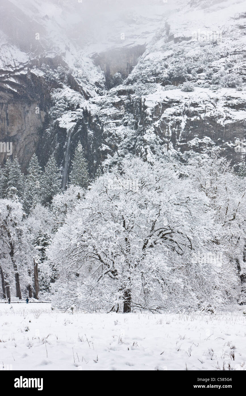 Snow and ice cover the Cook's Meadow Oak tree with lower Yosemite Falls in the background - Yosemite, California - Stock Image