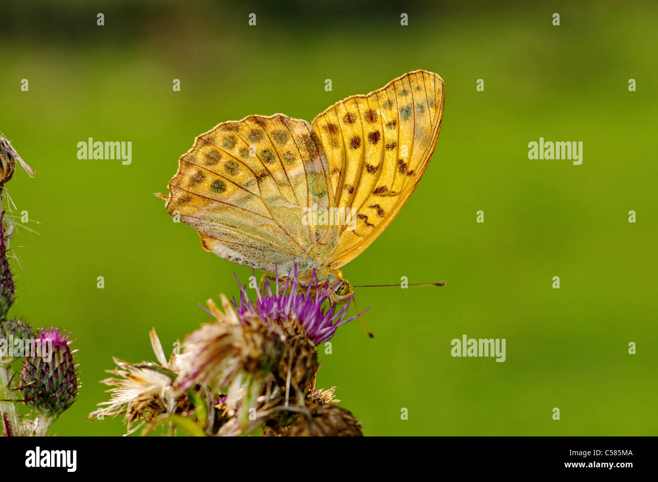 Silver-washed Fritillary, Argynnis paphia, butterfly, butterflies, insect, insects, protected, indigenous, orange, - Stock Image