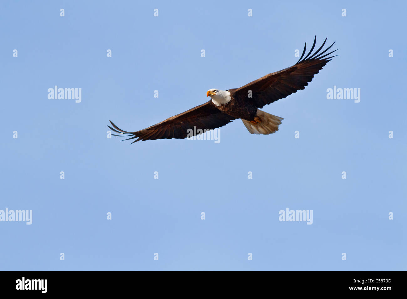 Bald Eagle with wings fully extended flying by - Stock Image