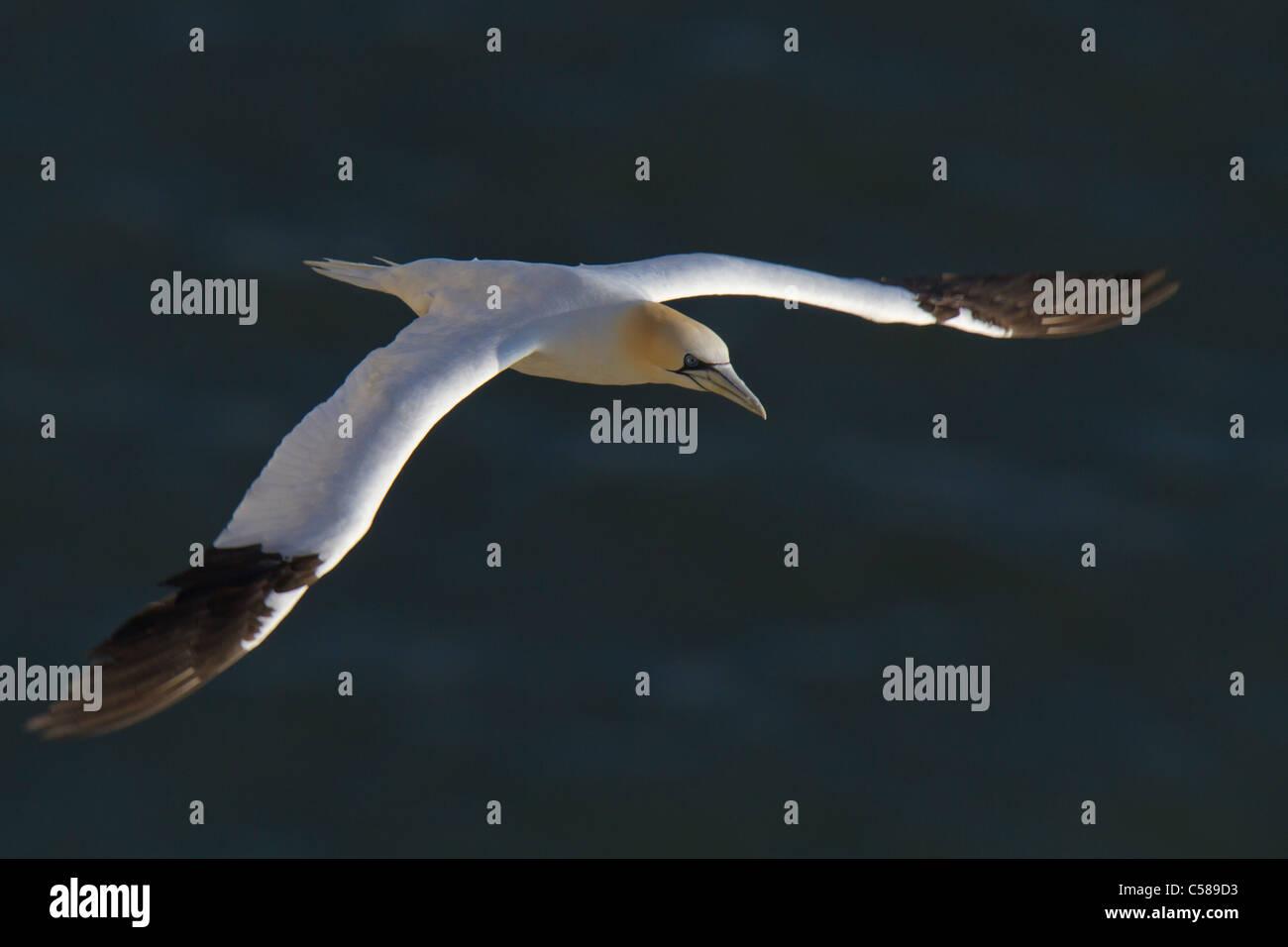 Northern Gannet (Morus bassanus) in flight over the sea - Stock Image