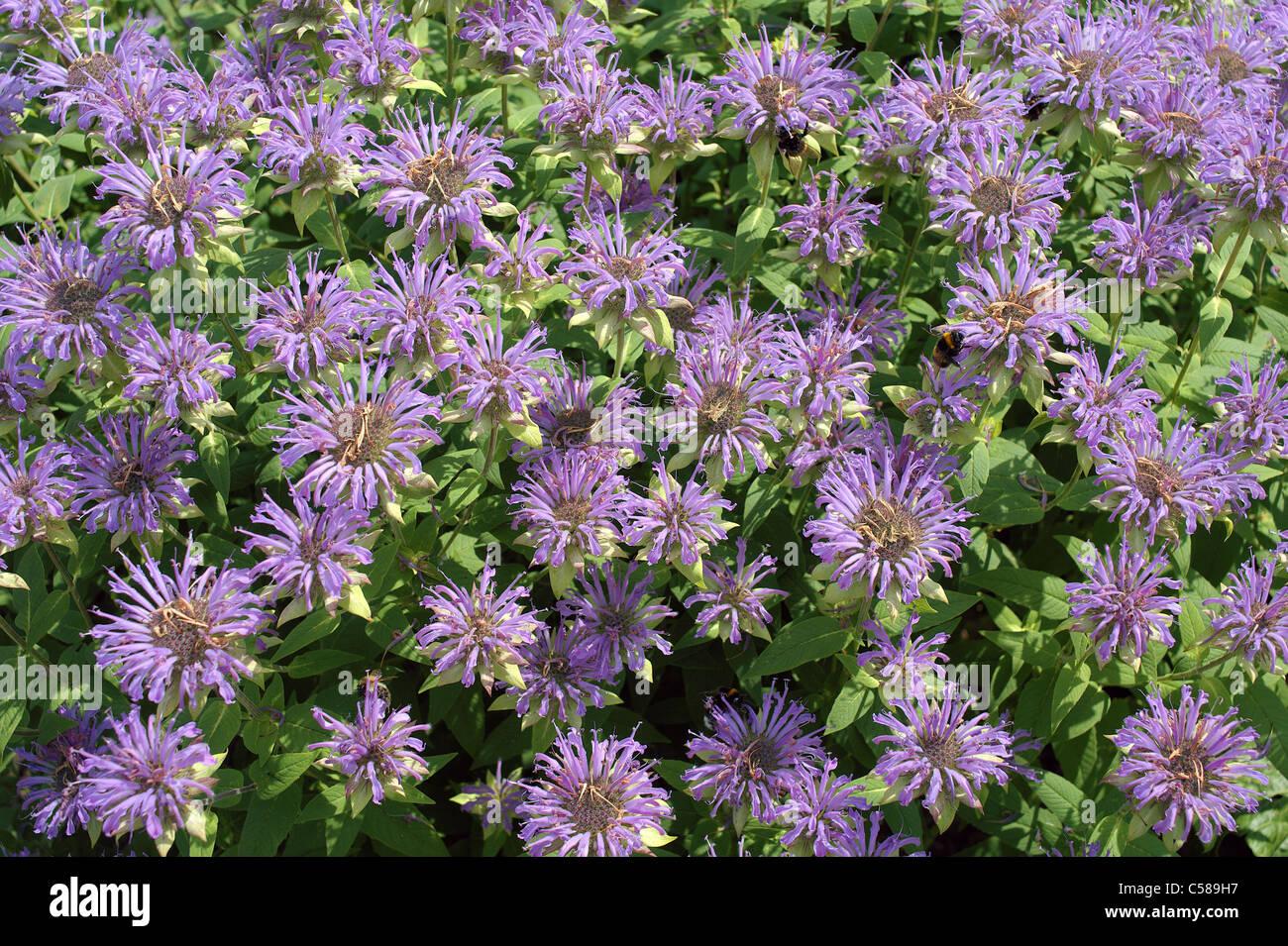Bee balm bergamot Monarda didyma flowers Stock Photo