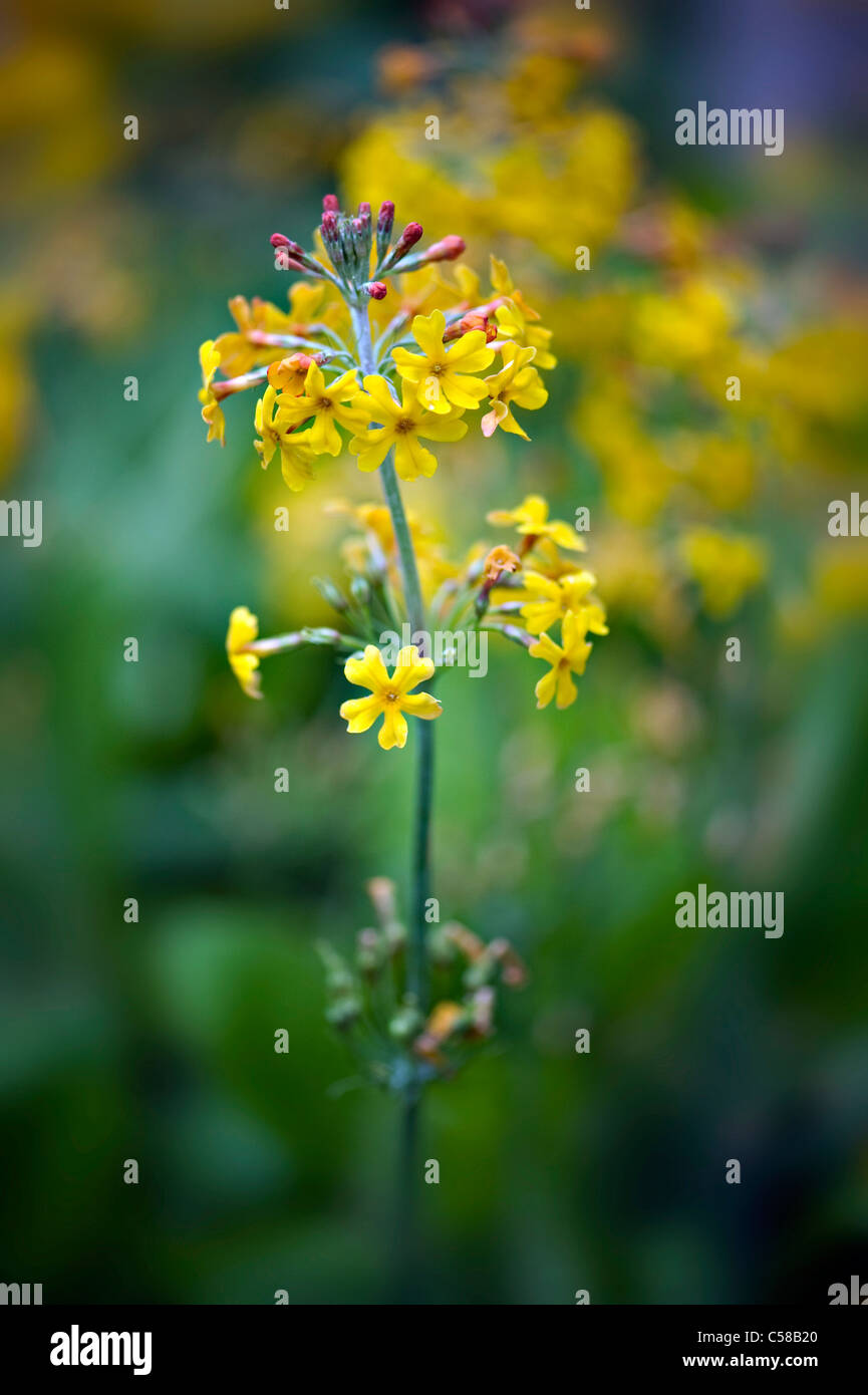 Close-up image of the beautiful yellow flowers of Candelabra primula - Primula chungensis, image taken against a - Stock Image