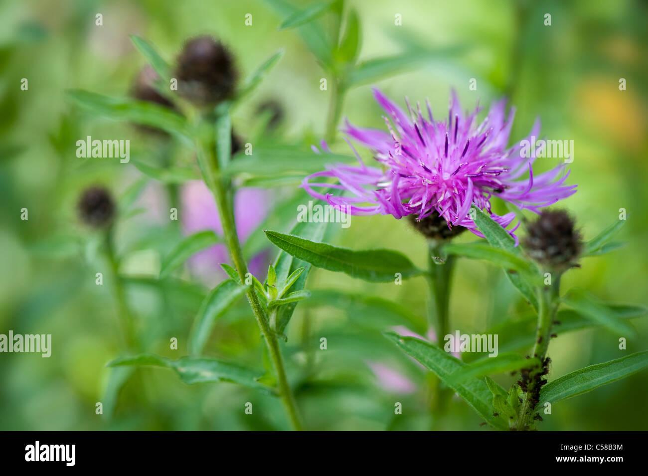 Purple Thistle Like Flower Stock Photos Purple Thistle Like Flower