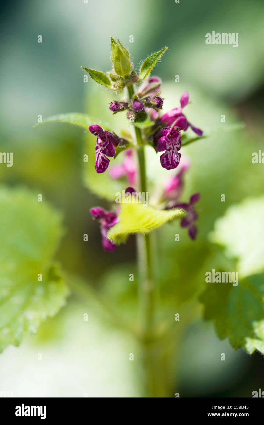 Hedge Woundwort - Stachys sylvatica flowers - Stock Image