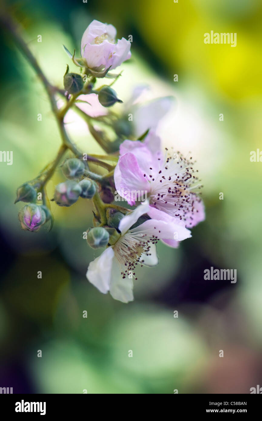 Close-up image of the summer flowering Bramble or Blackberry flowers which can be soft pink or white, taken against - Stock Image