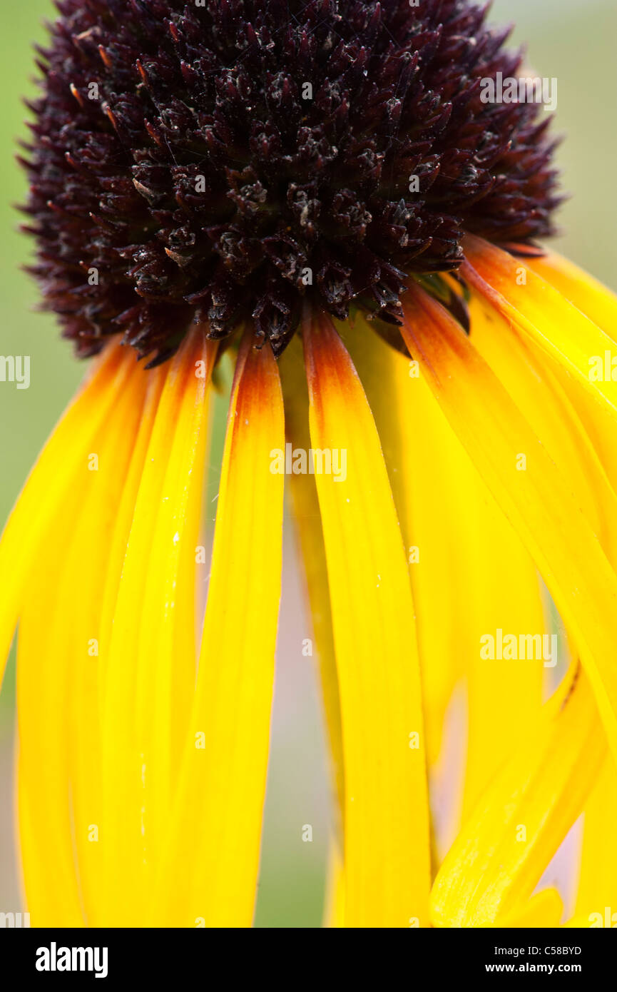 Echinacea paradoxa . Yellow Coneflower - Stock Image