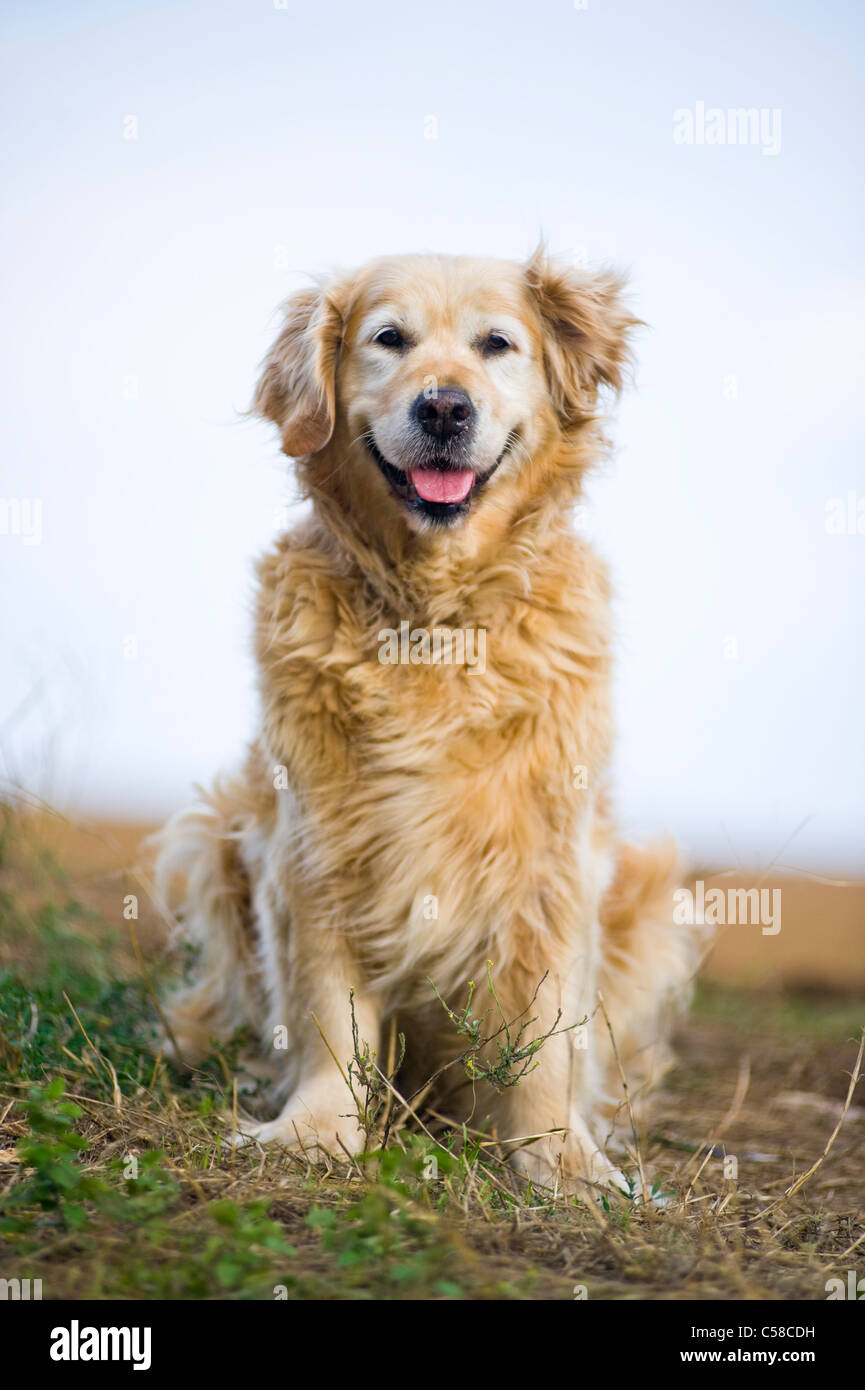 Outdoor portrait of an obedient dog; an elderly female golden retriever. Stock Photo