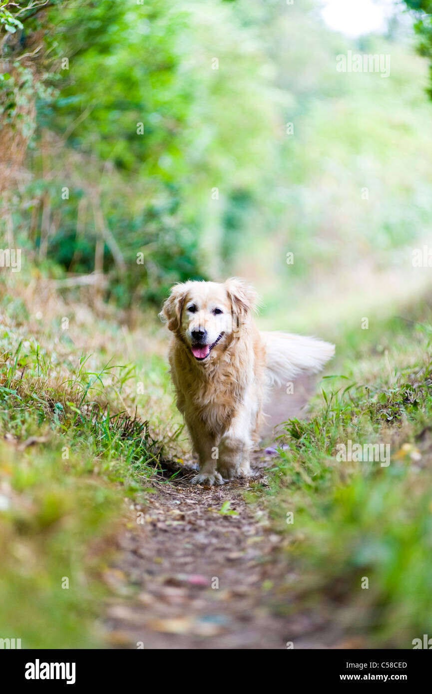 Beautiful, Elegant, Healthy, Old Female Golden Retriever Out for a Walk in the Countryside - Stock Image
