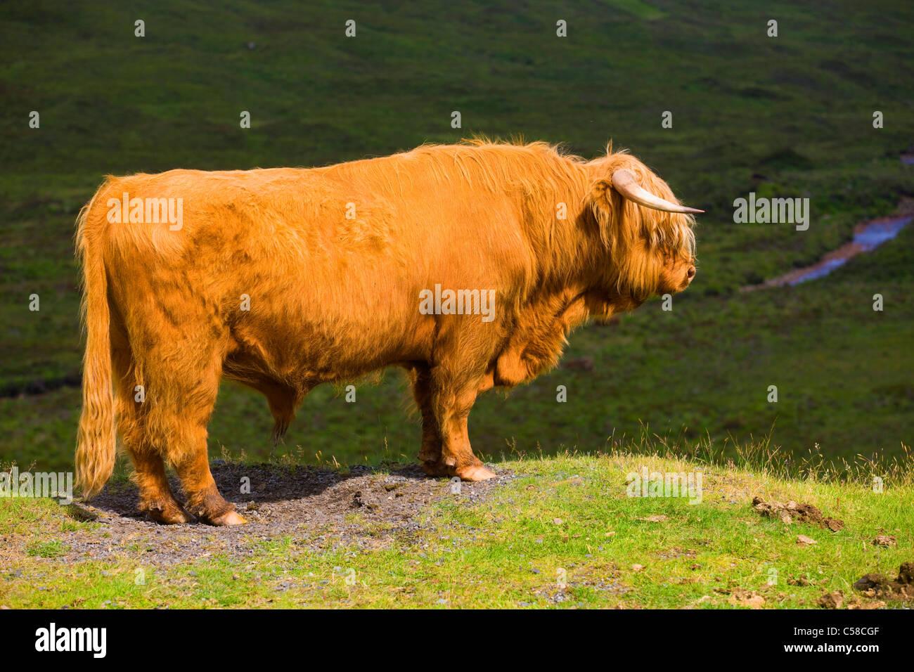 Sconser, highland bovine animal, Great Britain, Scotland, Europe, mammal, domestic animal, pet, Scottish highland - Stock Image