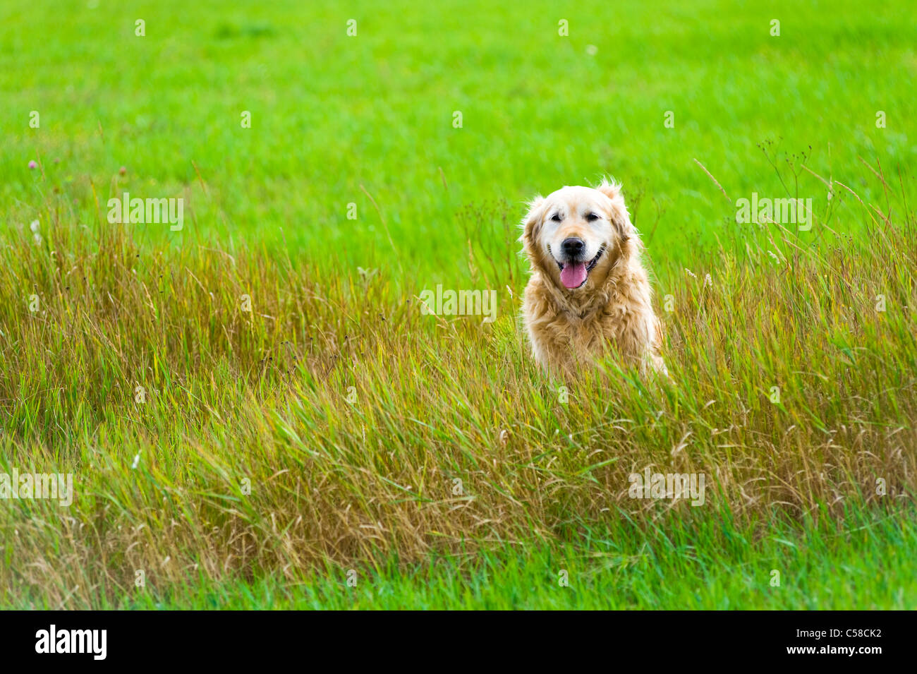 A beautiful, old, female golden retriever taking a break, sat in a field whilst out for a walk in the countryside - Stock Image