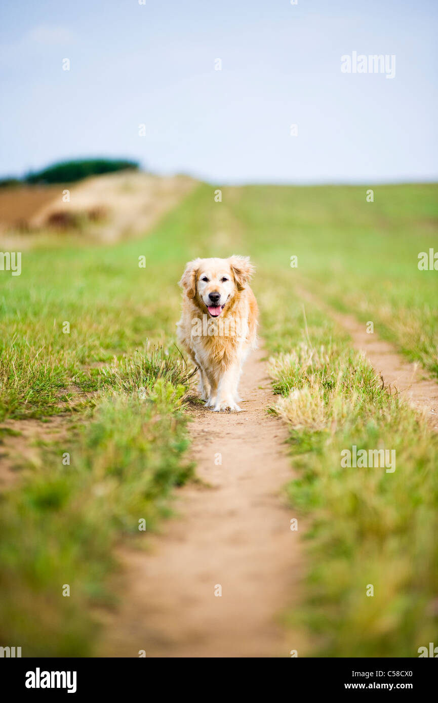 Elegant Old Female Golden Retriever Out for a Walk in the Countryside - Stock Image