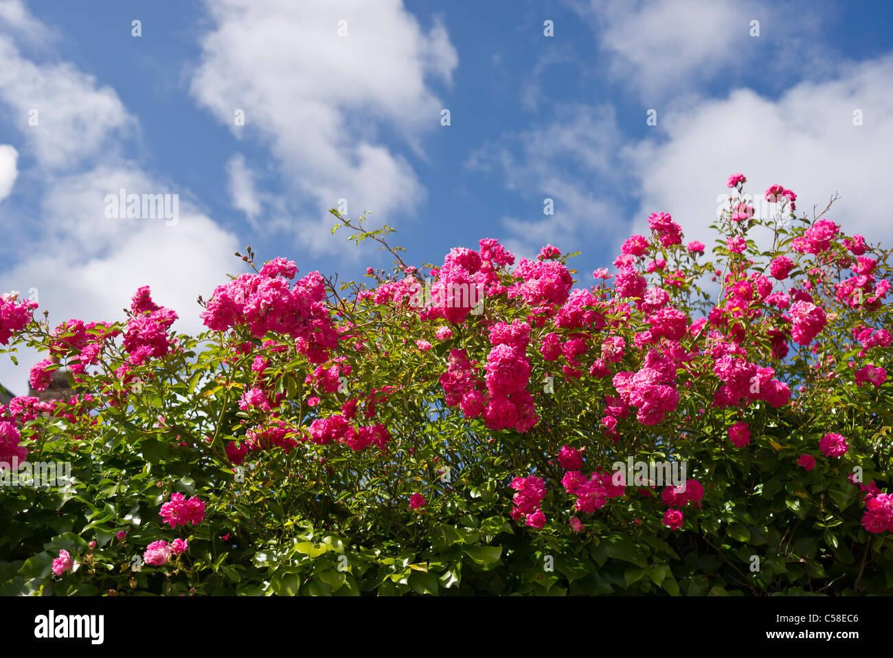 Mass of pink rambler roses flowering in June - Stock Image