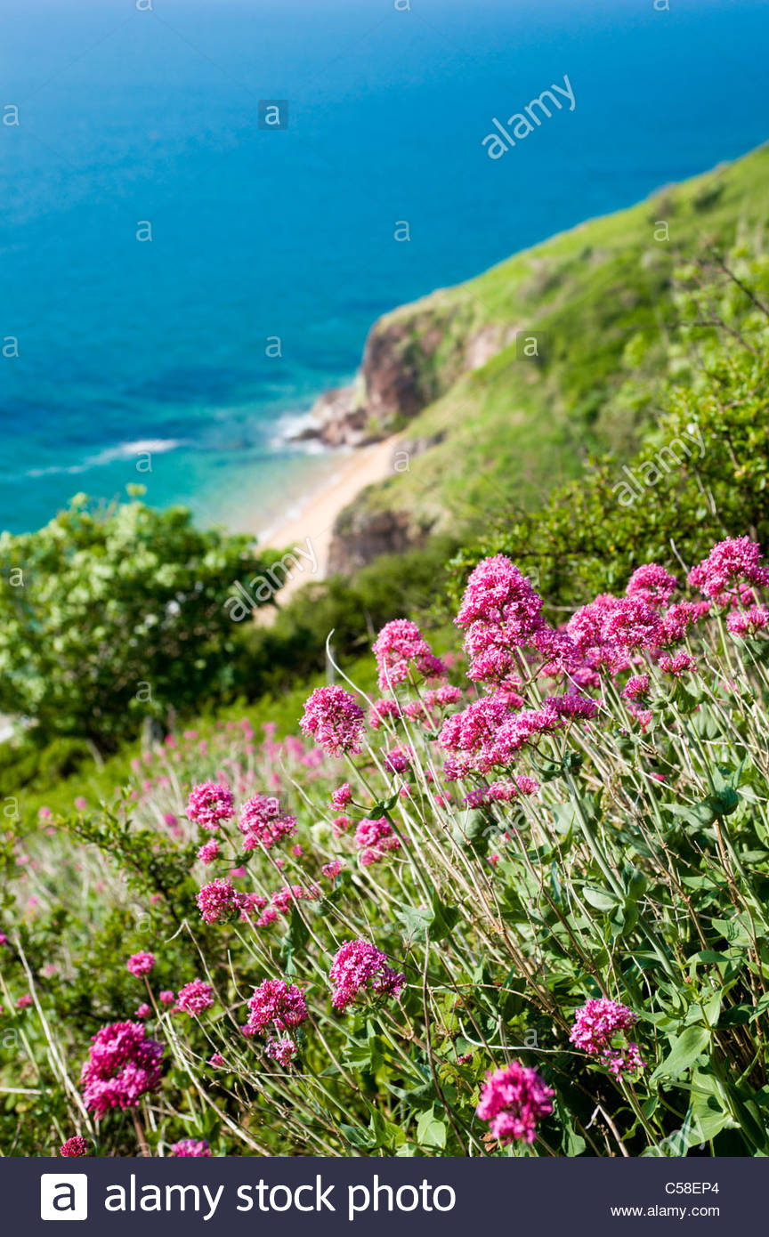 Wildflowers (Valeriana officinalis) on the hillside above Landcombe Cove, South Hams, Devon. - Stock Image