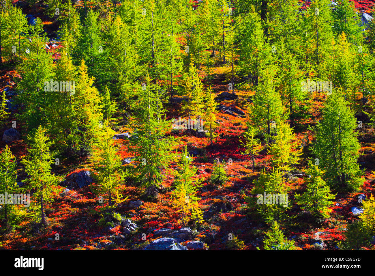 Trees, green, Switzerland, Valais, larches, autumn Stock Photo
