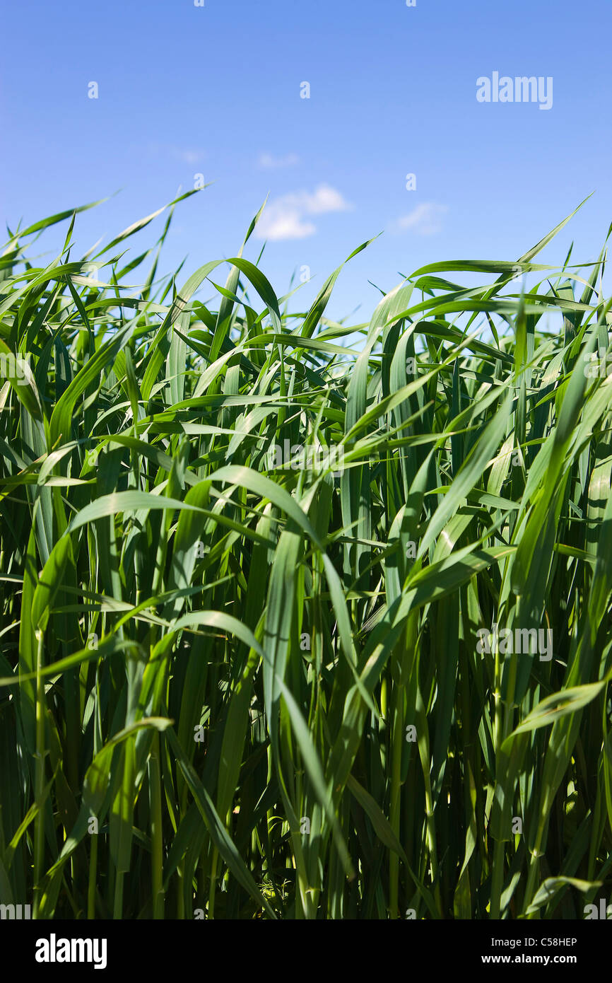 Nature, grass, plant, sky, blade of grass, meadow, blue, green, lawn - Stock Image