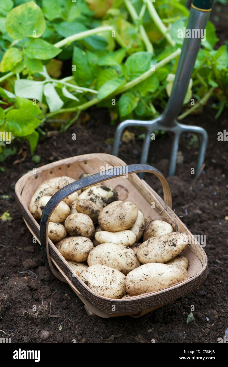 Potatoes 'Sharpes Express' in a wooden trug - Stock Image