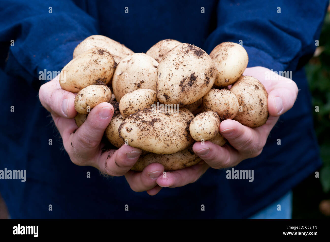 Gardeners Hands holding freshly dug 'Sharpes Express' Potatoes - Stock Image