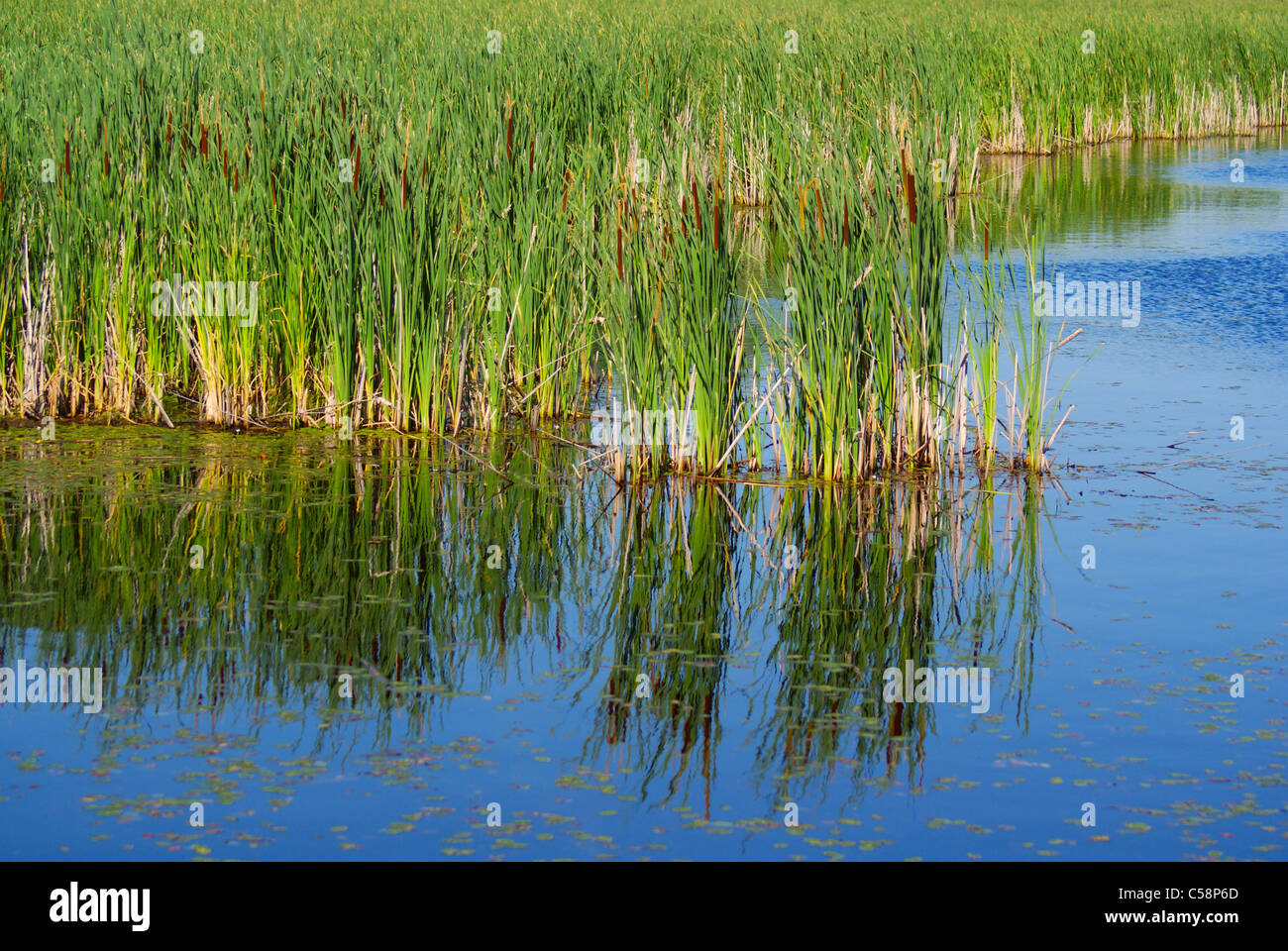 Talls reeds stand in the blue waters of a Canadian marsh. - Stock Image