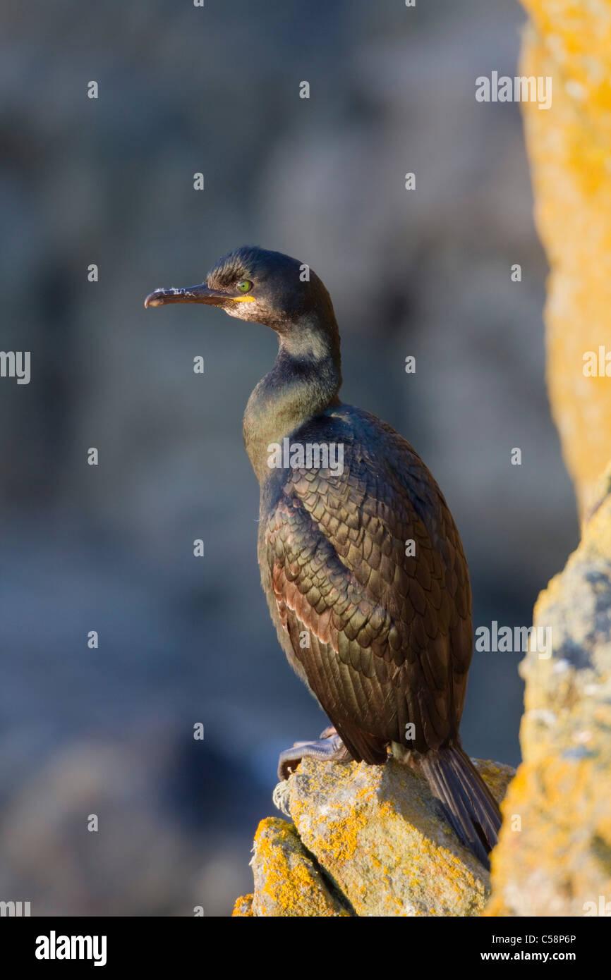 Shag; Phalacrocorax aristotelis; Cornwall - Stock Image