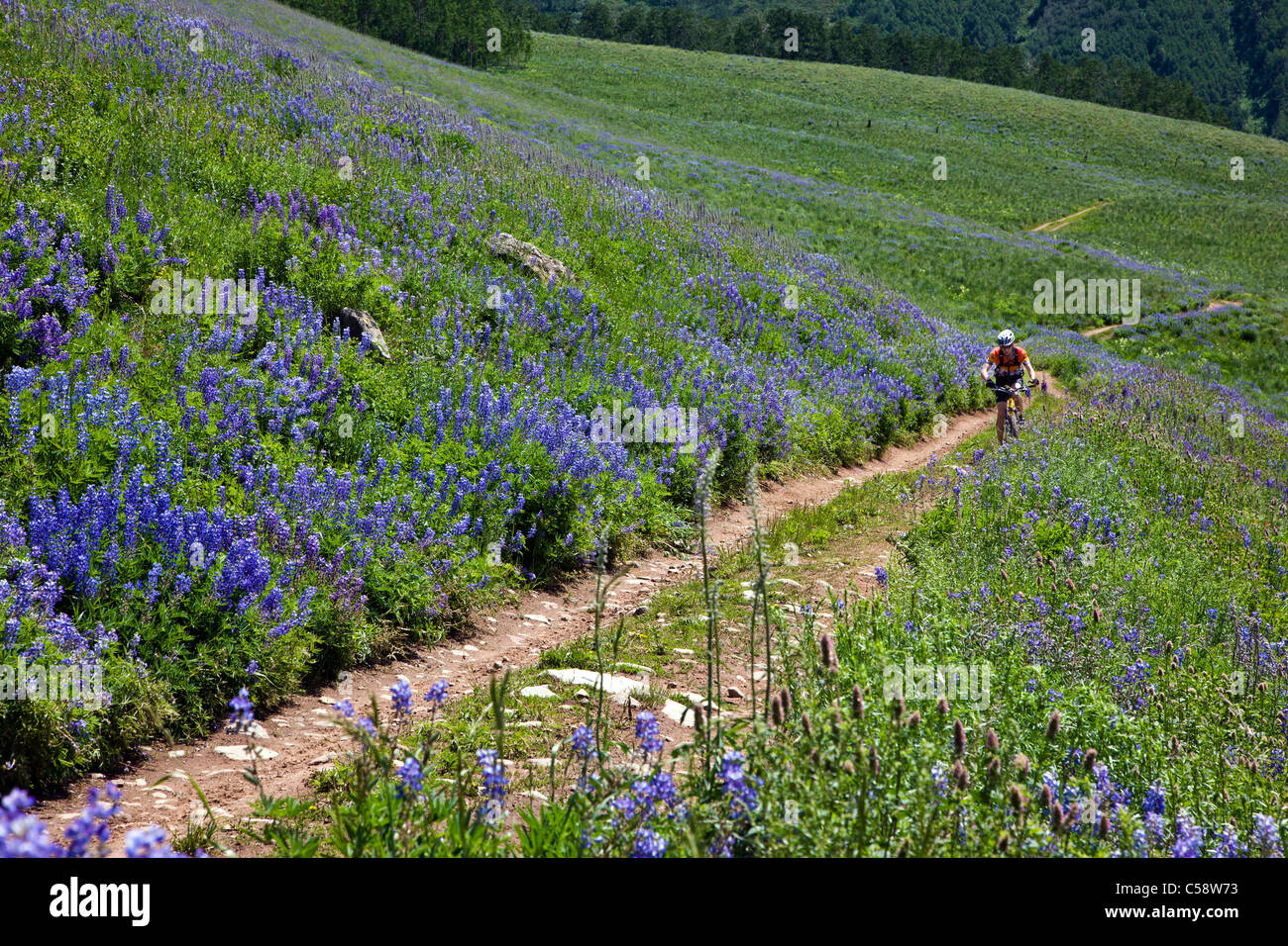 Mountain biker riding amongst Blue Lupine wildflowers on the Brush Creek Road near Crested Butte, Colorado, USA - Stock Image