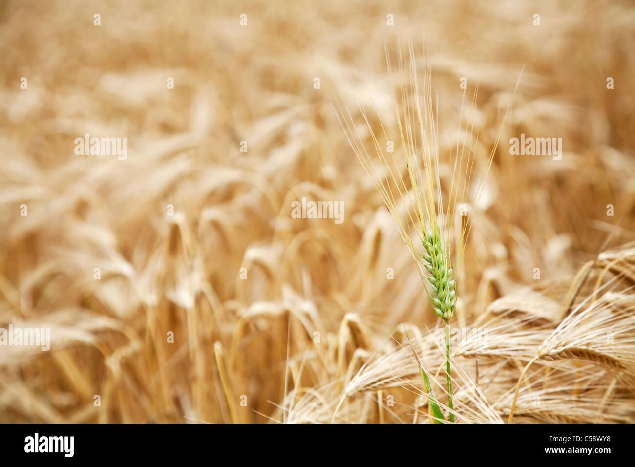 Green wheat stalk in the yellow wheat field. - Stock Image