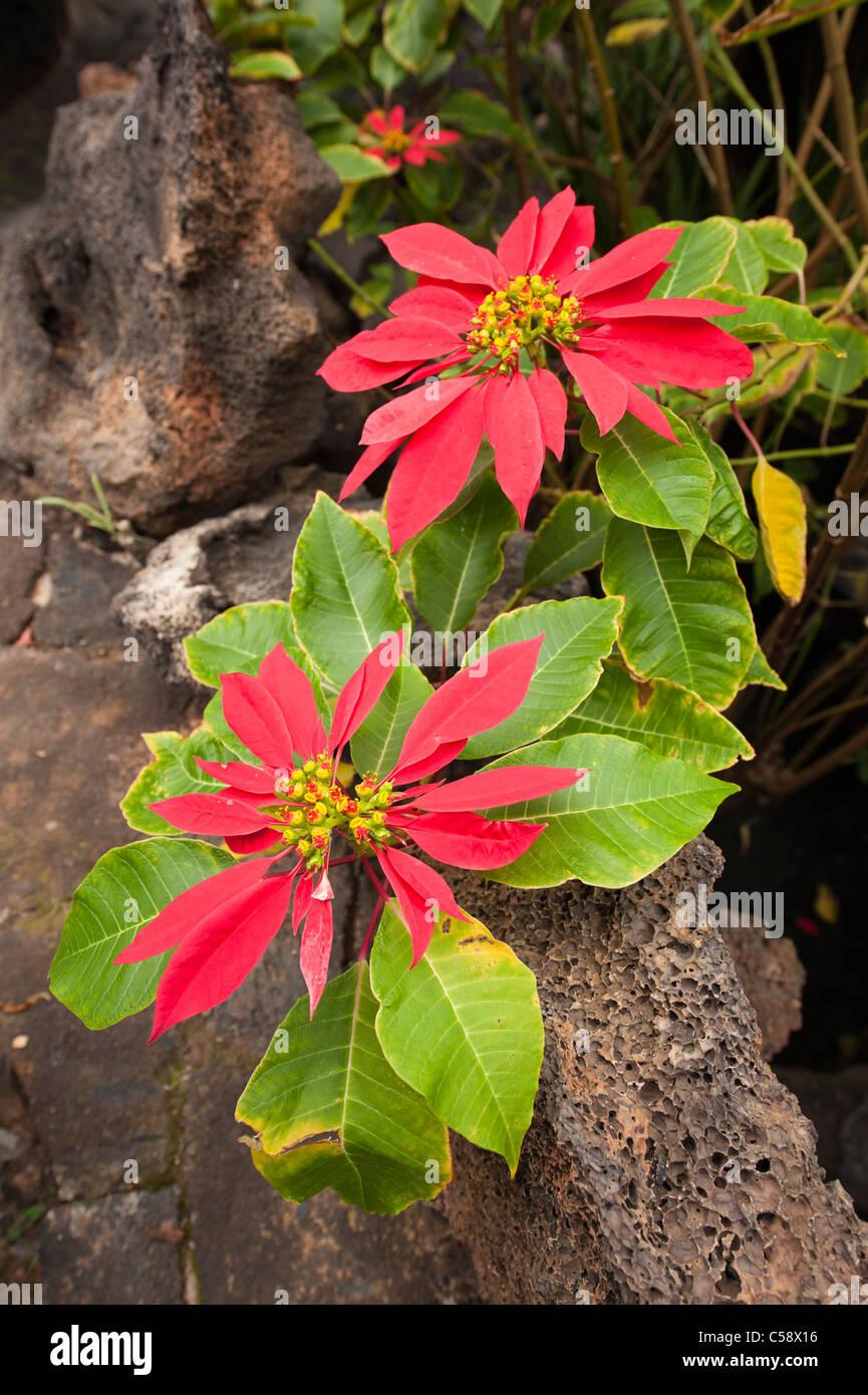 Poinsettia (Euphorbia pulcherrima), Lanzarote, Canary Islands, Spain - Stock Image