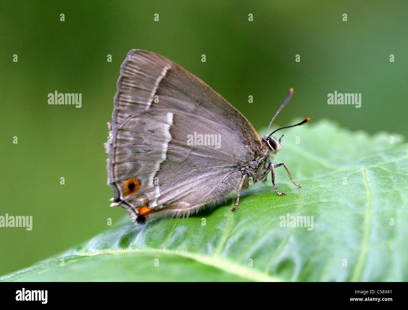 Purple Hairstreak Butterfly, Quercusia quercus, Lycaenidae. Female. Underside. - Stock Image