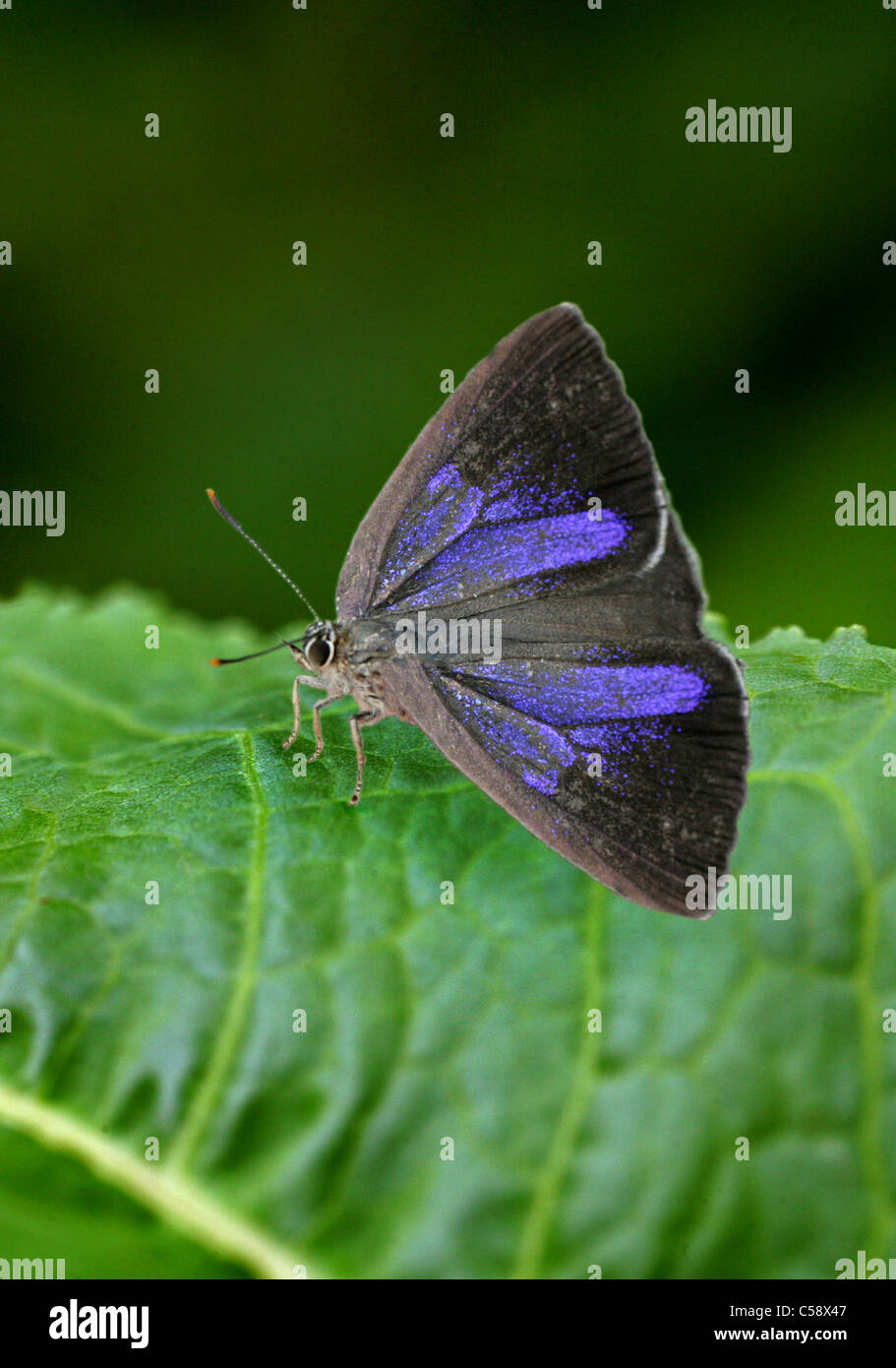 Purple Hairstreak Butterfly, Quercusia quercus, Lycaenidae. Female. - Stock Image