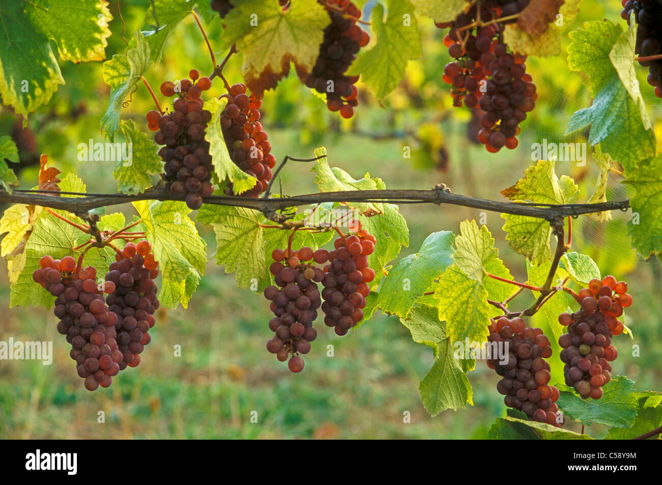 Pinot Gris wine grapes on vine; Champoeg Vineyards, Willamette Valley, Oregon. - Stock Image