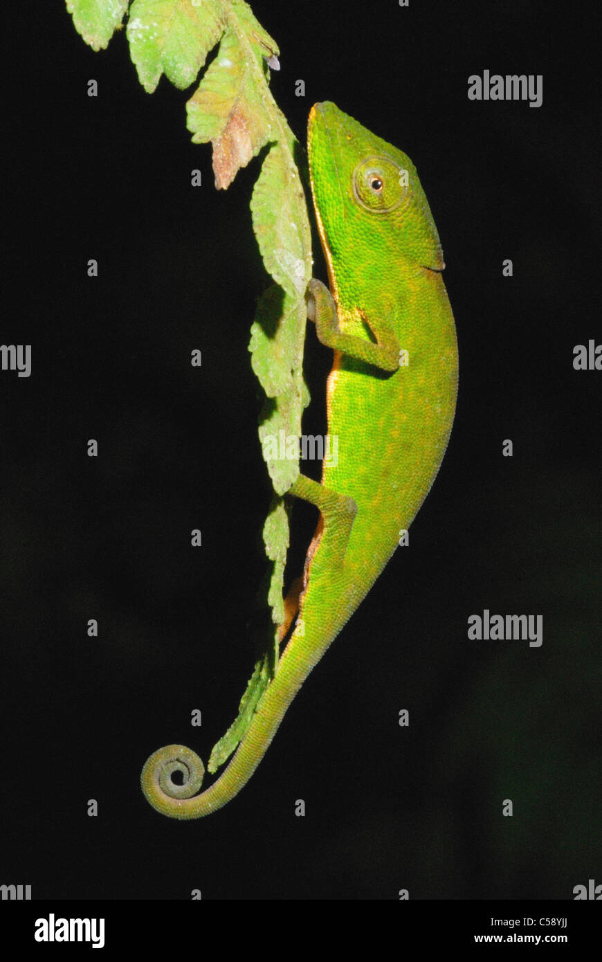 Glaw's Chameleon (Calumma glawi) in Ranomafana National Park - Stock Image