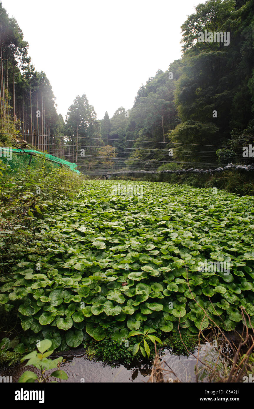 A field of wasabi.Wasabi needs the cleanest of environments in which to grow and is highly vulnerable to temperature - Stock Image