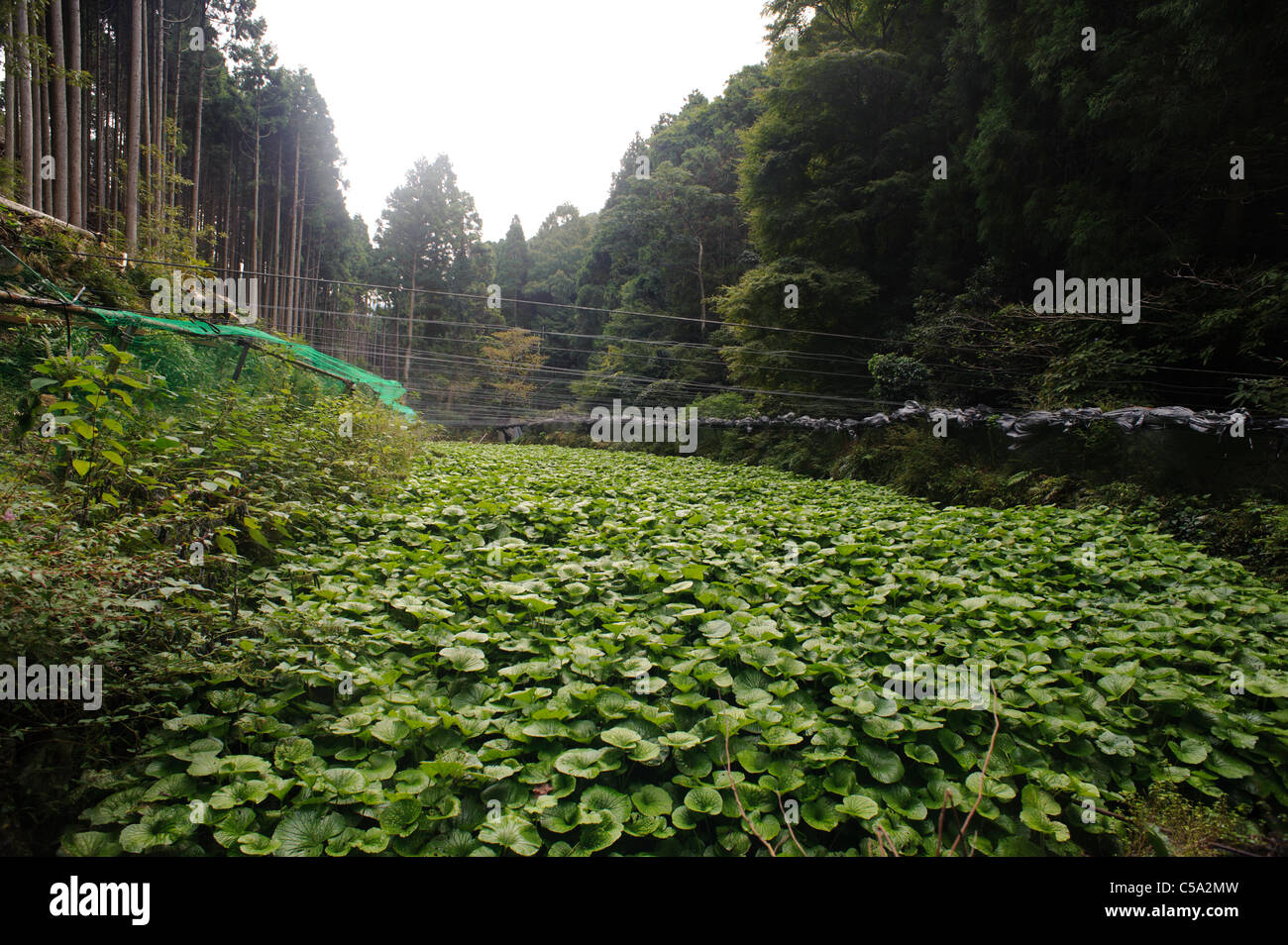 A field of wasabi. Wasabi needs the cleanest of environments in which to grow and is highly vulnerable to temperature - Stock Image