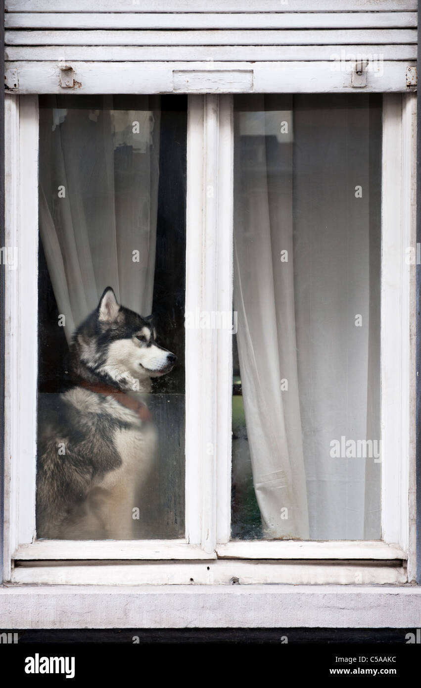 Dog in the window of a house in Brussels, Belgium. - Stock Image