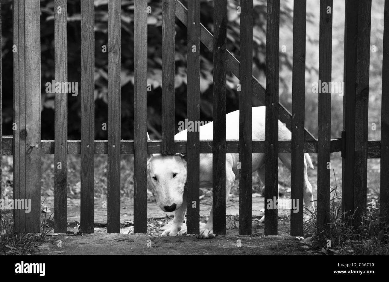 Bull terrier (Canis lupus f. familiaris) peeking through a gap in a wooden fence. - Stock Image