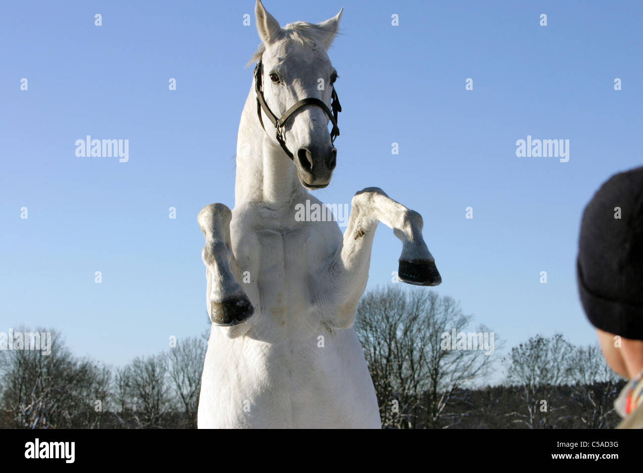 A white horse rearing in front of a human - Stock Image