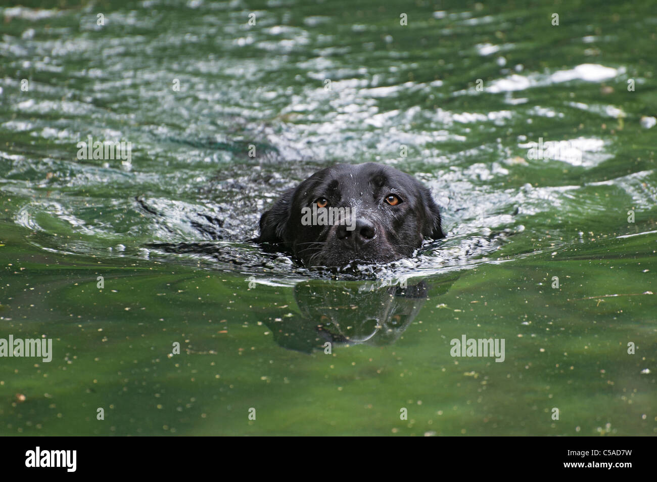 Labrador retriever dog playfully retrieves sticks thrown into the water at Manatee Springs State Park Florida - Stock Image