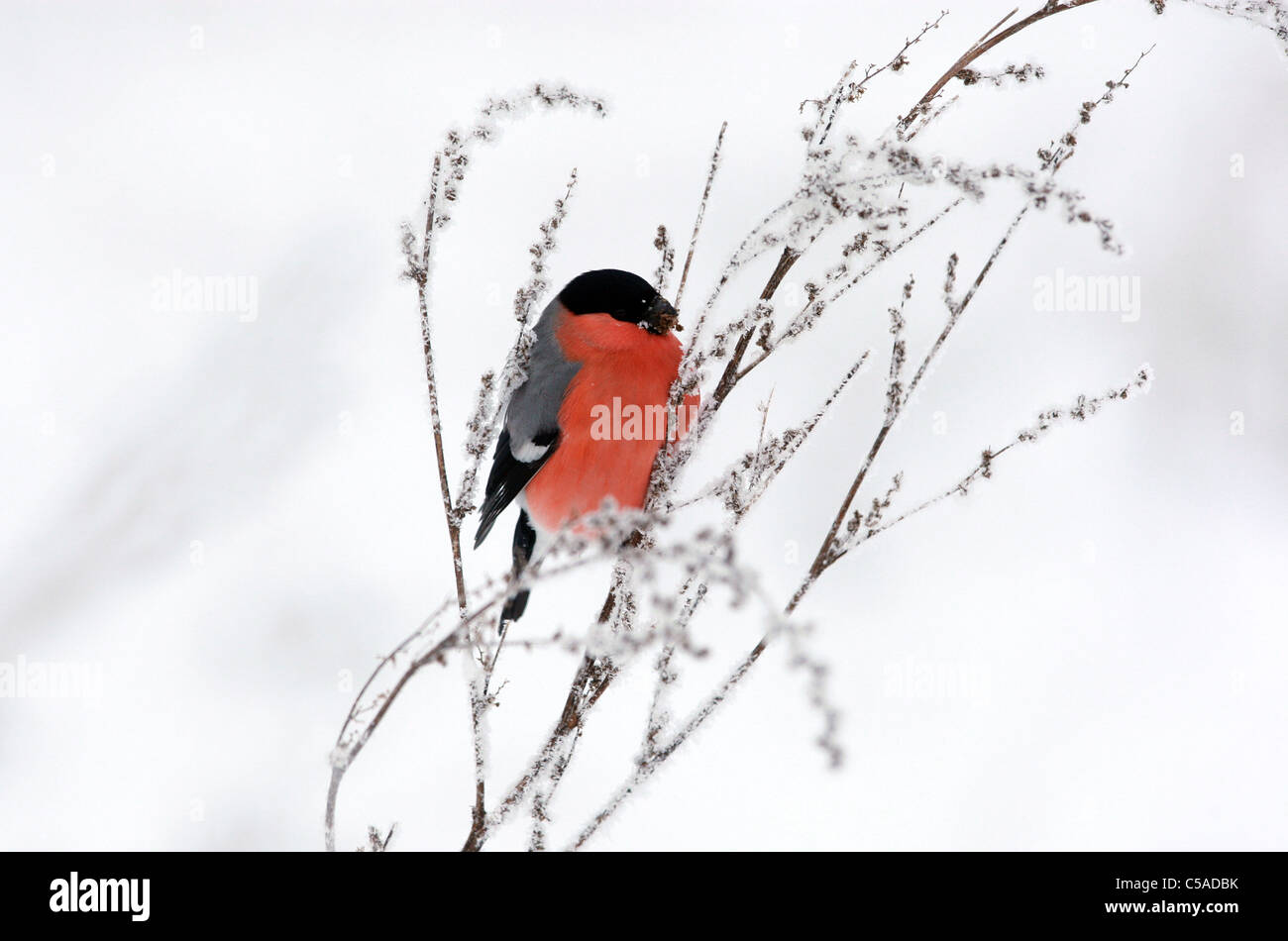 A bullfinch sitting on a snow-covered twig - Stock Image