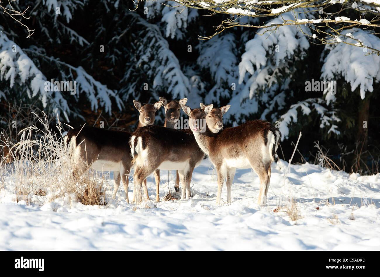 Roe deer in snow - Stock Image