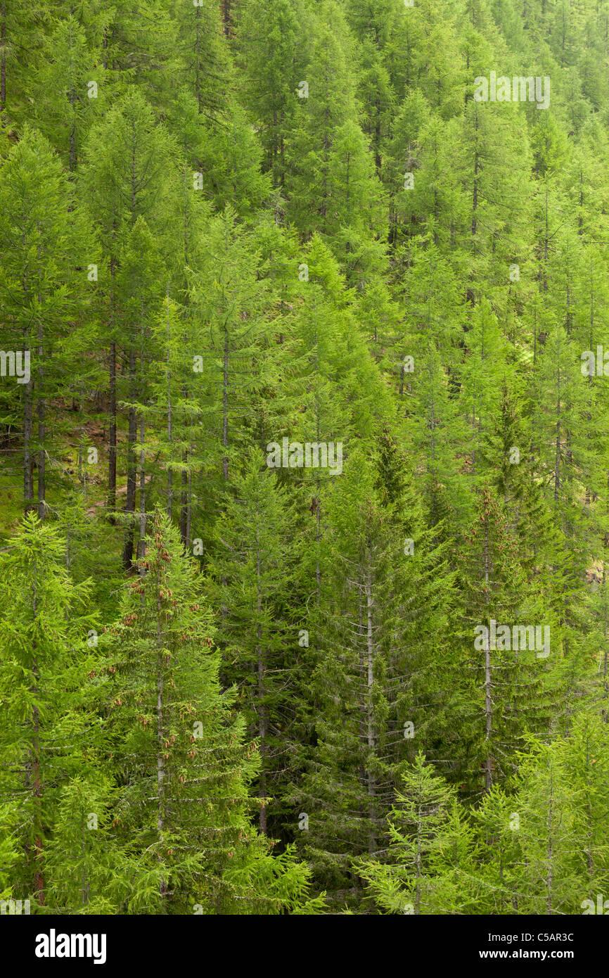 Norway spruce, Valsavarenche, Italian Alps - Stock Image
