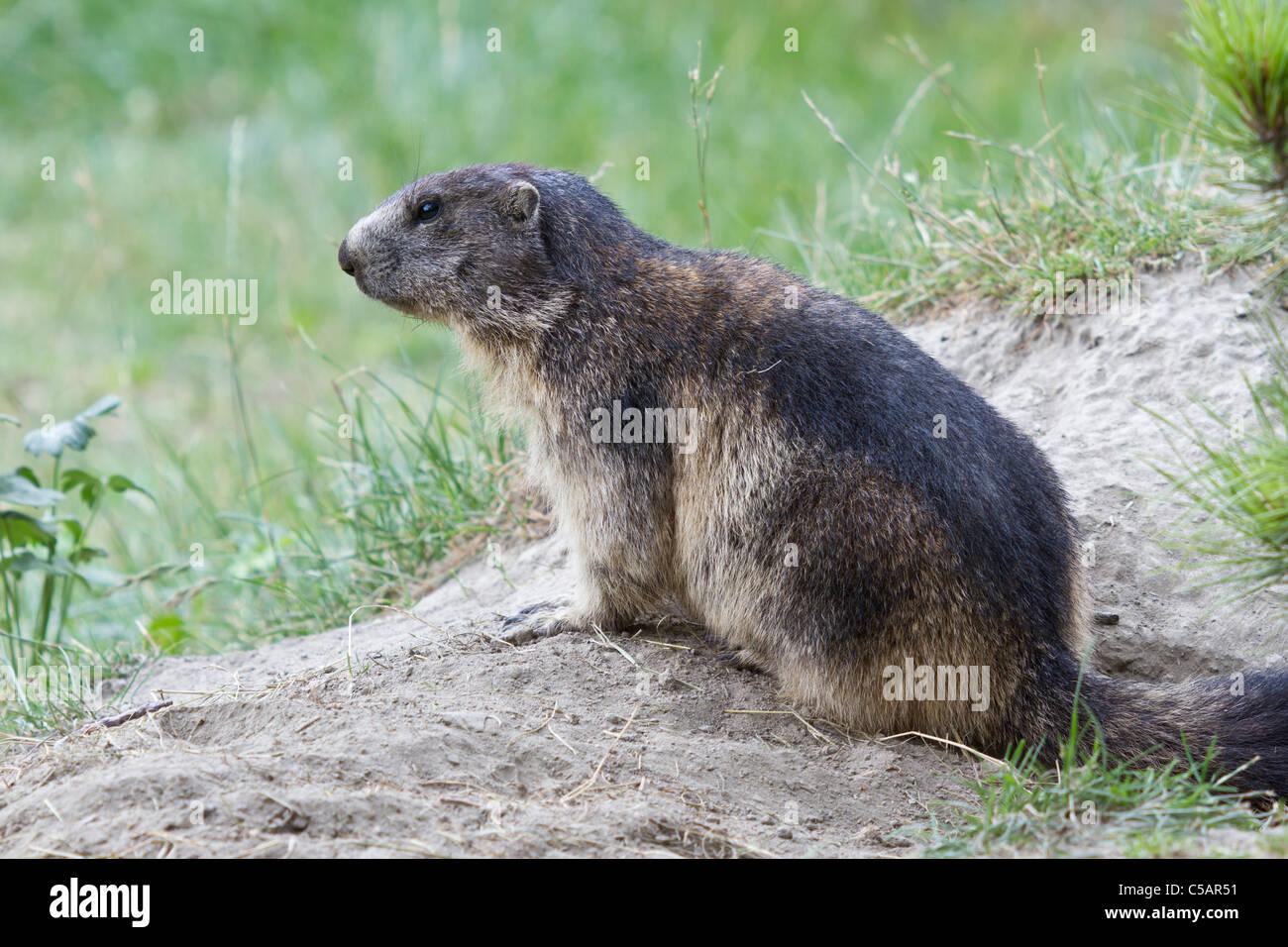 Marmot, Marmota marmota - Stock Image