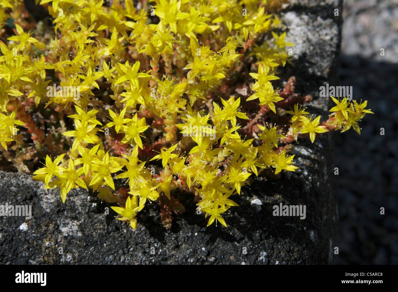 Yellow flowers of sedum acre in alpine trough in garden stock photo yellow flowers of sedum acre in alpine trough in garden mightylinksfo