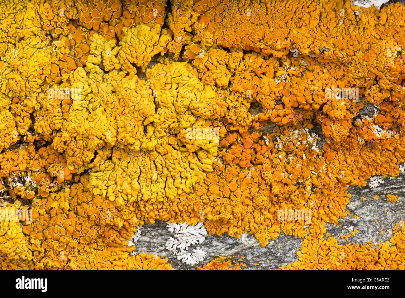 A crustose lichen, probably Caloplaca species, Valgrisenche, Italian Alps. - Stock Image