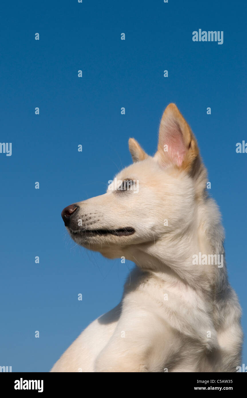 Portrait of a mixed breed shiba inu puppy. - Stock Image