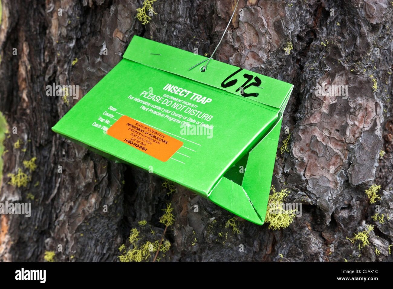 Insect trap, secured Ponderosa Pine - Stock Image