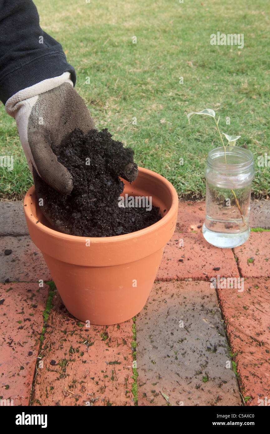 Plant Propagation of a Variegated Fig Tree. Photo 6 of 10: Putting soil in plant pot. - Stock Image